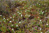 Blossom cloudberry