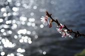 Blossom Over Water