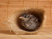Close Up Of Nice Little Sparrow In A Nest Of Jute