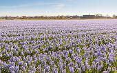 Veld met lila bloeiende hyacinten