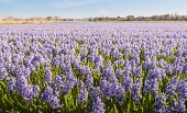 Veld met lila bloeien hyacint bollen In Nederland