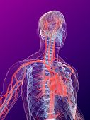 image of human nervous system  - 3dx rendered anatomy illustration of a human shape with highlighted heart and vascular system - JPG