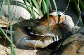 Mandarin Duck Swimming