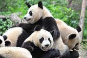 stock photo of endangered species  - Giant panda bear eating bamboo with other pandas - JPG