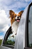 Papillon Dog In Car
