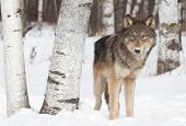 Grey Wolf (Canis lupus) Stands Near Birch Trees