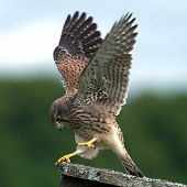 Kestrel, Juvenile, Performance