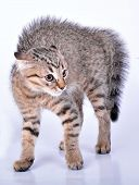 picture of puss  - Small Scottish straight kitten looking scared - JPG
