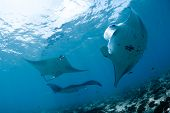 picture of manta ray  - Manta ray in Indian Ocean  - JPG