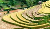 Terraced Fields Being Harvested, Mu Cang Chai District, Yen Bai Province, Vietnam
