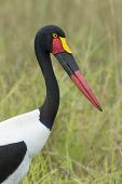 Female Saddle Billed Stork, (ephippiorhynchus Senegalensis), South Africa