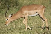Male Impala (aepyceros Melampus) South Africa