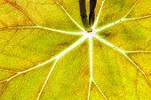 Green Leaf Bright Veins Texture