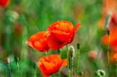 Wild Red Poppy On Wind