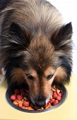 stock photo of sheltie  - Cute little Sheltie or Shetland Sheepdog eating food bits from bowl - JPG