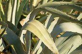 Agave Leaves