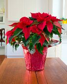 Christmas Poinsettia centerpiece in modern home