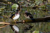 Wood Duck Pair Perched On Fallen Limb
