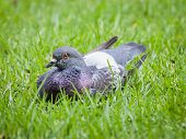 Grey And White Pigeon Sitting On The Grass