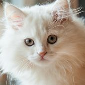 Close-up Of The Face Of A White Long-haired Pedigree Kitten