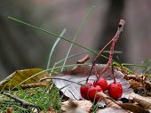 Red Wood Berries On A Leaf