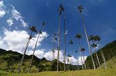 Colombia, Wax Palm Trees Of Cocora Valley