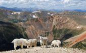 stock photo of colorado high country  - Mountain Goats enjoying the summer - JPG