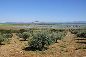 Olive groves by lagoon, Andalusia.