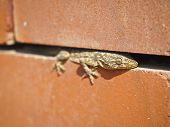 stock photo of hemidactylus  - big house lizard hide in gap of brick wall