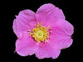 Flower Of Brier