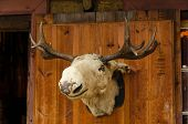picture of taxidermy  - Old moose head placed in a wooden door - JPG