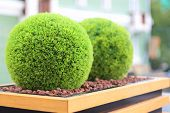 Two decorative green shrubs in shape of ball in wooden flowerpot in summer cafe
