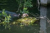 Great Crested Grebes And Nest