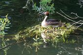 Great Crested Grebe And Nest