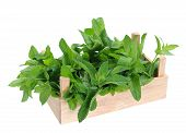 Spearmint In Wooden Crate