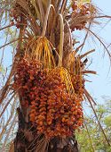 Dates on the palm tree