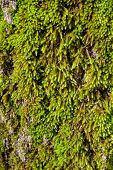 pic of cottonwood  - Moss on tree green texture close up view - JPG