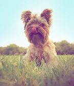 a cute yorkshire terrier toned with a retro vintage instagram filter
