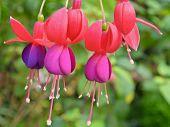 Lady's Eardrops ( Fuchsia ) Flowers