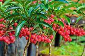 Ardisia Crenata ( Myrsinaceae )