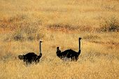 Ostriches (Struthio camelus) walking through backlit grassland, South Africa