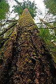 giant tree in Hoh Rainforest