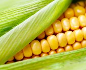 Sweet Corn closeup. Fresh organic corn cob close-up