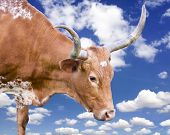 foto of longhorn  - Female Longhorn cow isolated against a bright blue sky - JPG