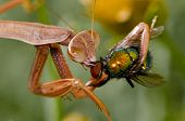 Juvenile Praying Mantis ripping off the eyes of a fly