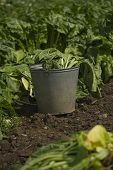 Bucket in a vegetable field