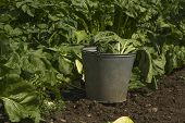 Metal bucket to collect crop in a vegetable field