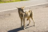 picture of coyote  - a coyote alone on a deserted street - JPG