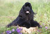 Black Cocker Spaniel sitting on a green lawn