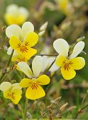 picture of viola  - Dune Pansy - Viola tricolor curtisii